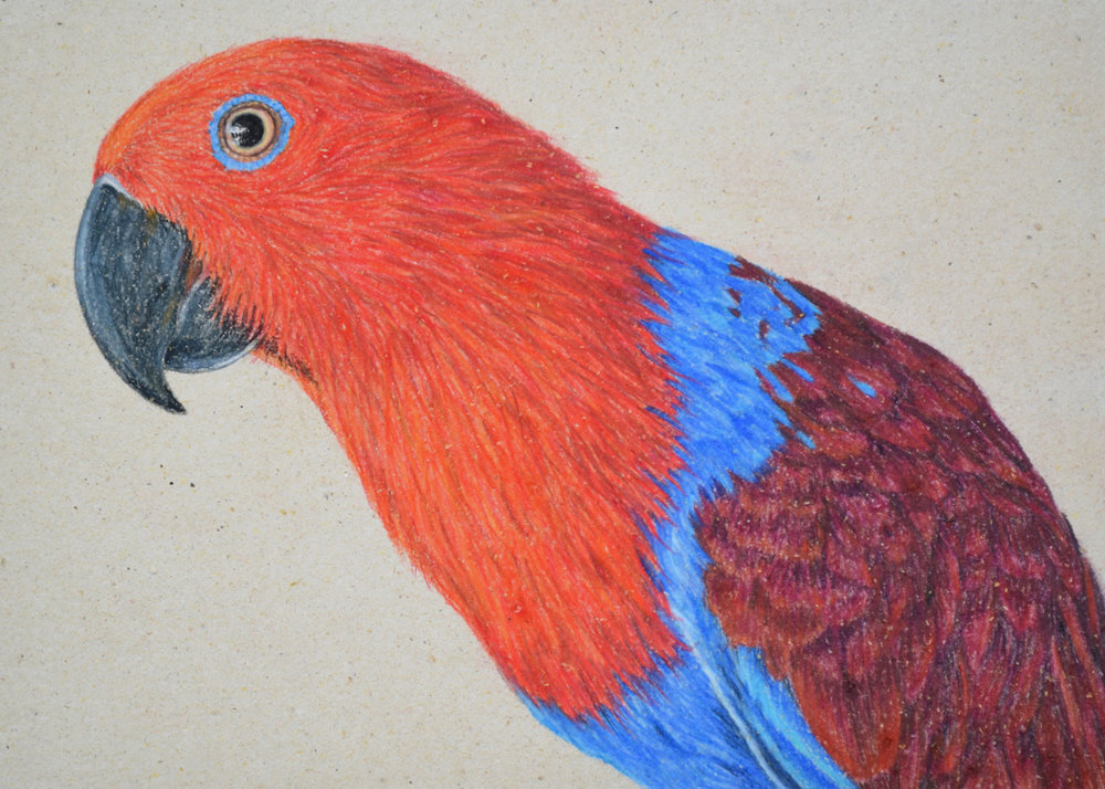 Female Eclectus Parrot    21 x 30 cm                                          Pastel on handmade paper                                                        $800