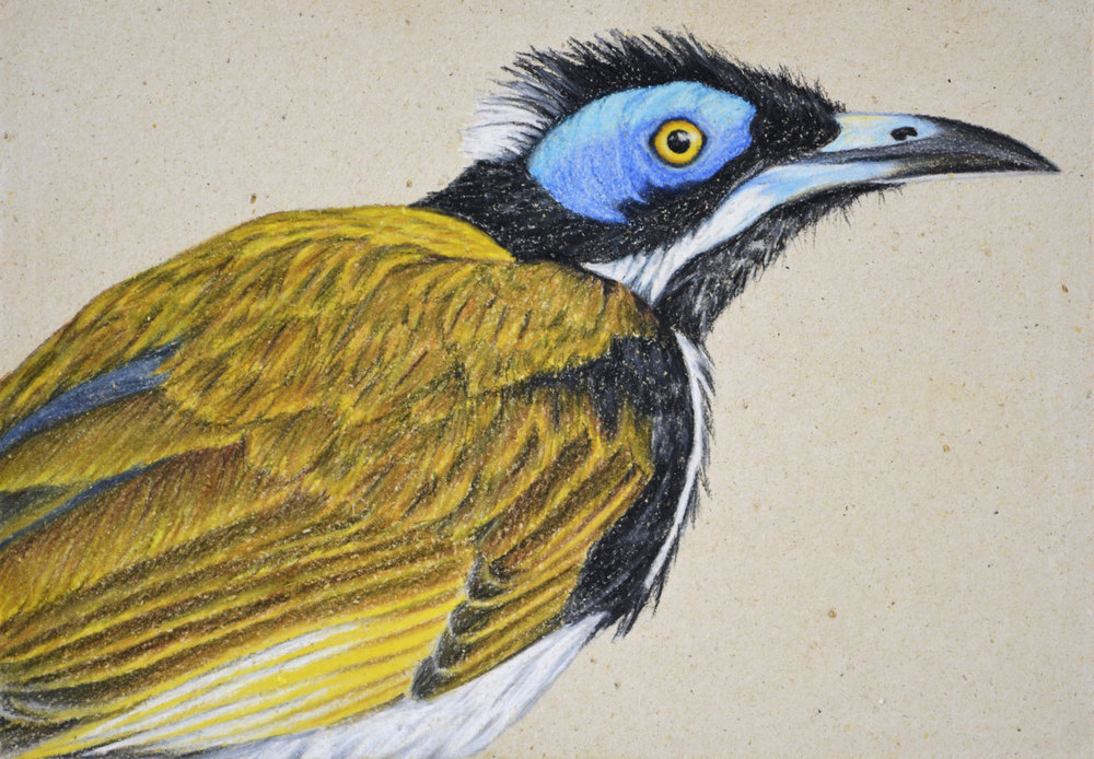 Blue Faced Honeyeater II     21 x 30 cm                                 Pastel on handmade paper                                                       $800