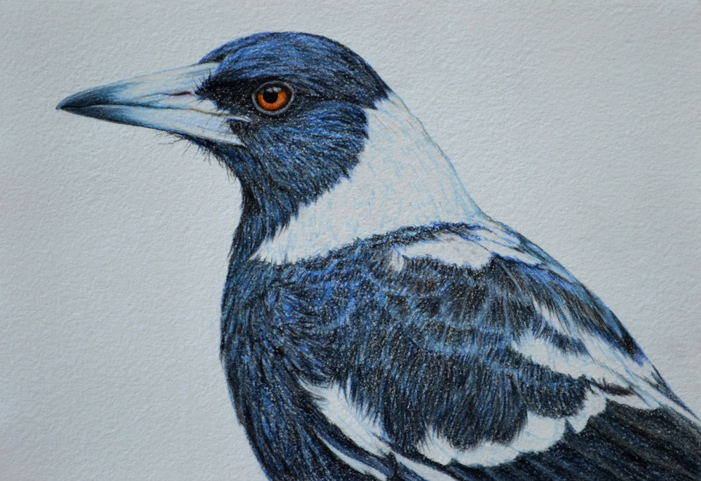 australian-magpie-2-drawing-rachel-newling.jpg