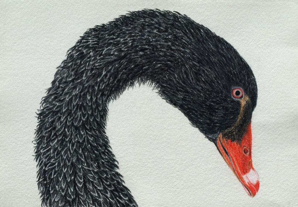 black-swan-2-rachel-newling.jpg