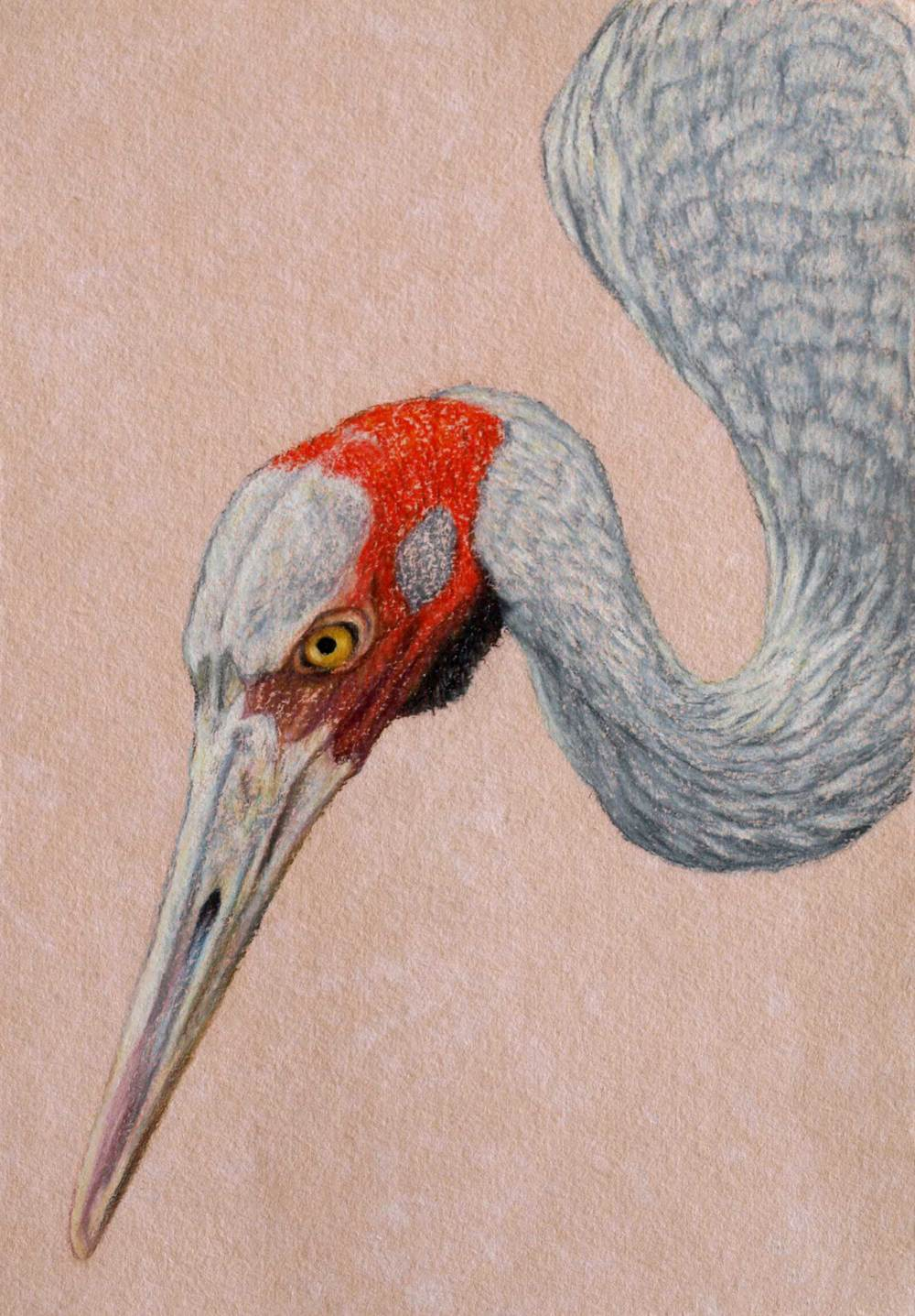 brolga-2-drawing-rachel-newling.jpg