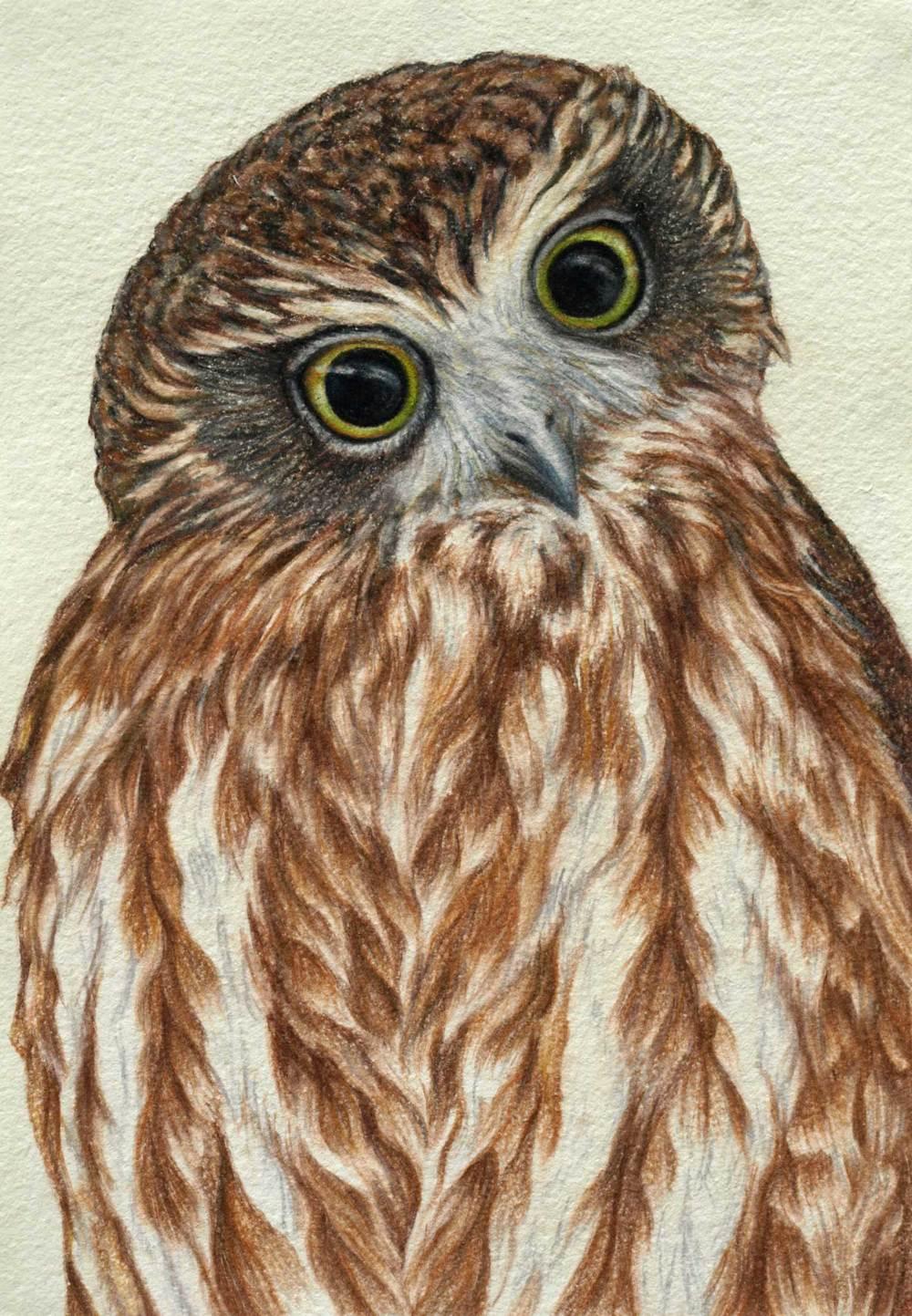 boobook-owl-drawing-rachel-newling.jpg