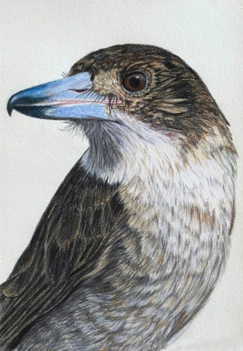butcher-bird-drawing-rachel-newling.jpg