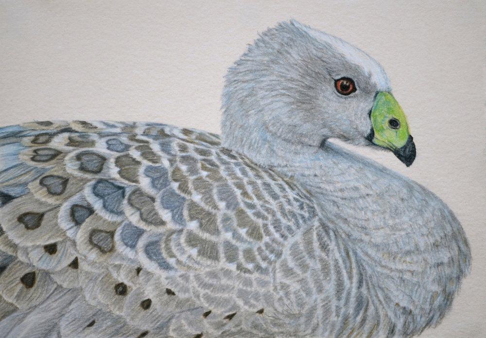 cape-barren-goose-drawing-rachel-newling.jpg