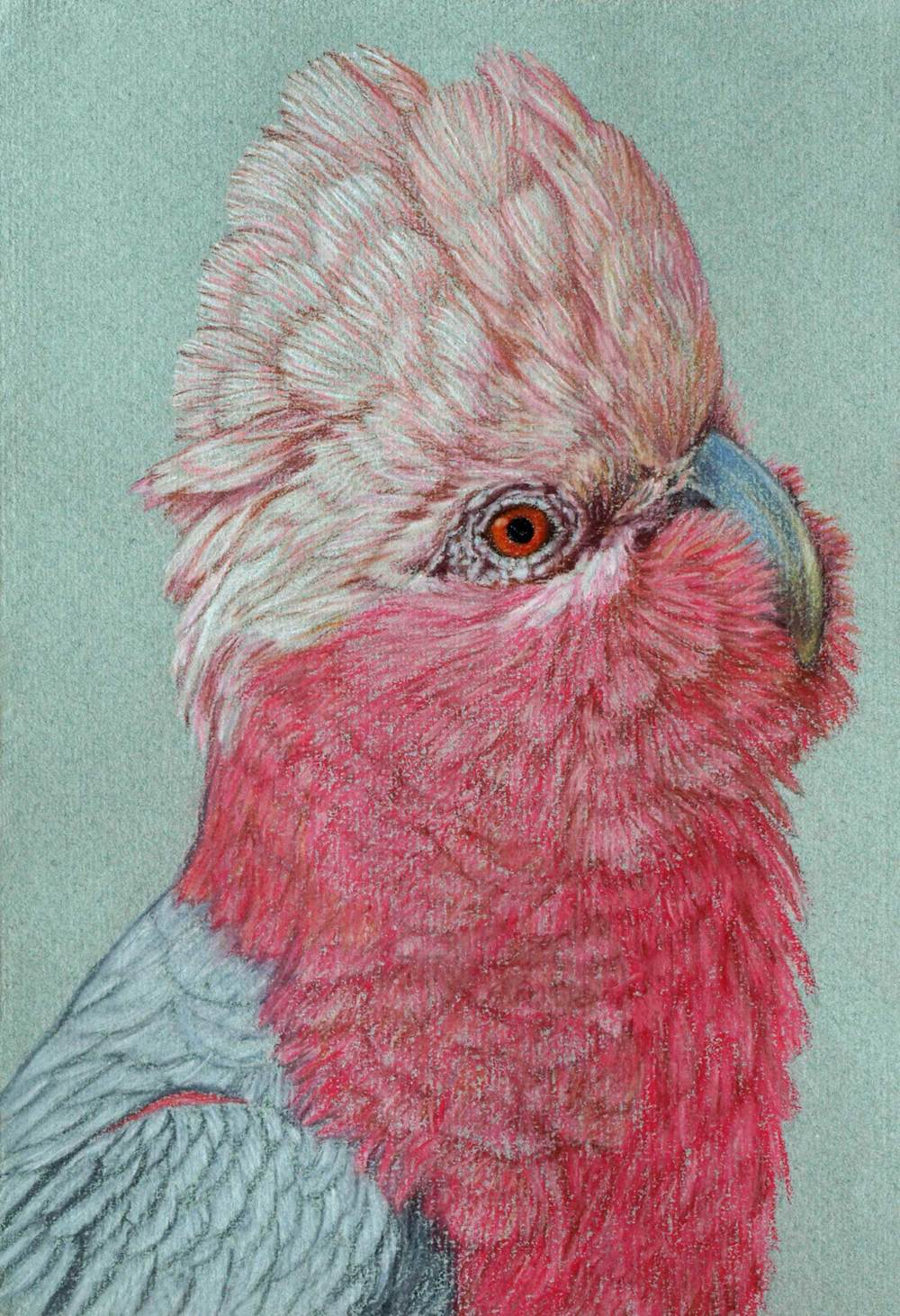 galah-2-drawing-rachel-newling.jpg