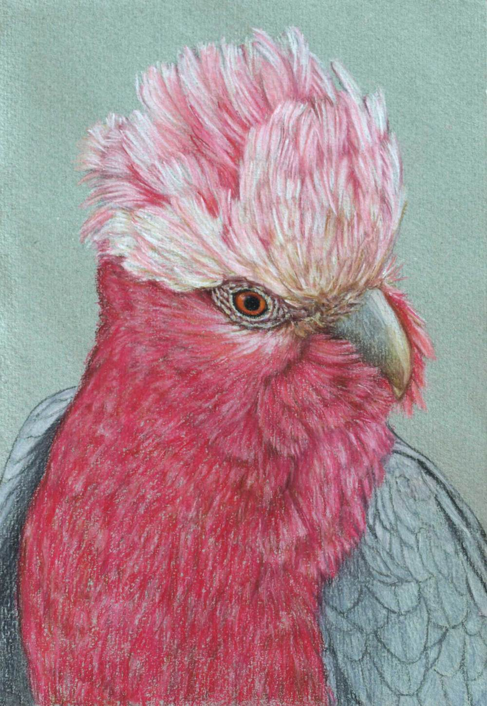 galah-3-drawing-rachel-newling.jpg