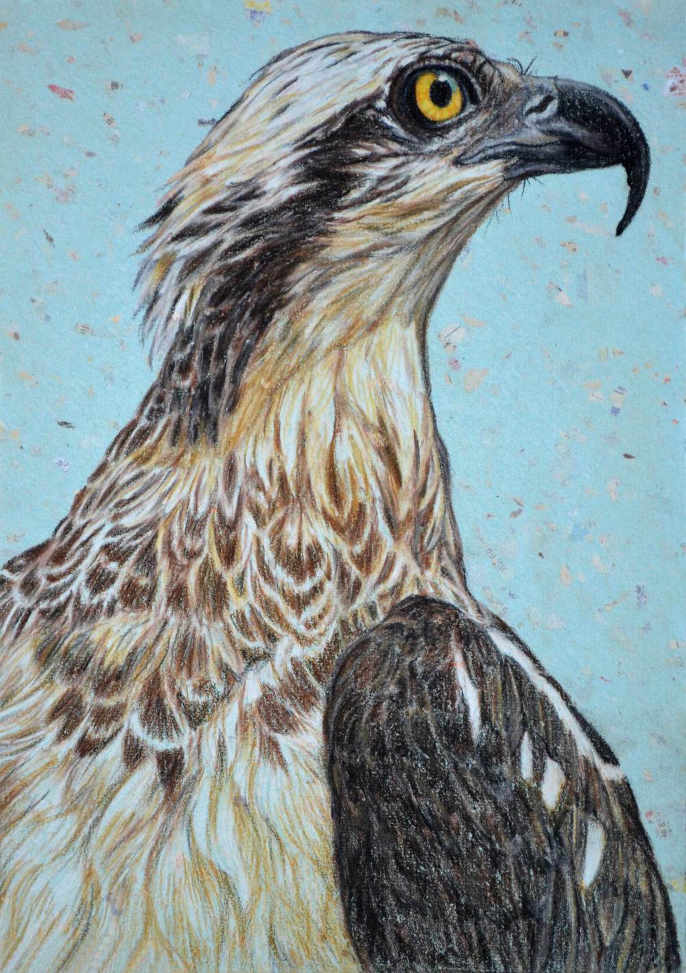 osprey-2-drawing-rachel-newling_edited-1.jpg