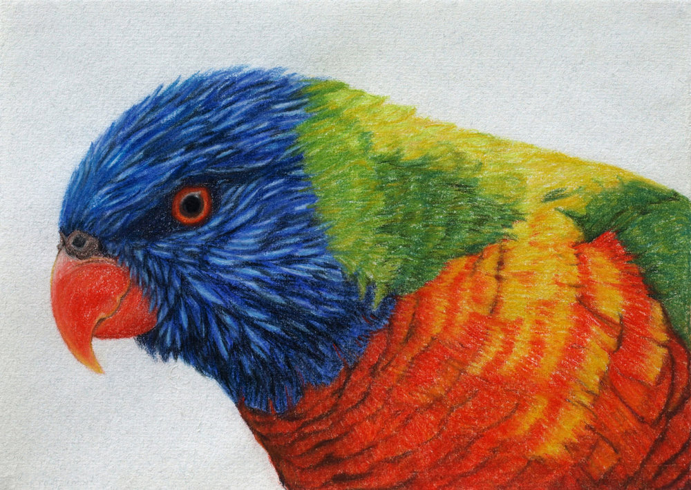 rainbow-lorikeet-drawing-rachel-newling.jpg