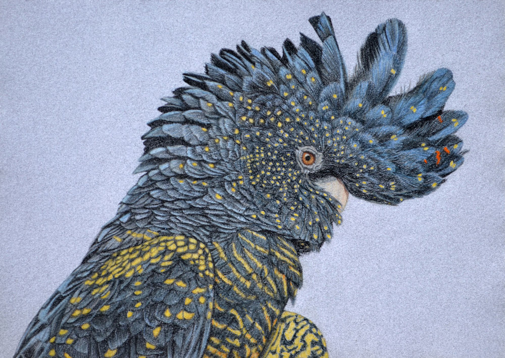 red-tailed-black-cockatoo-2-drawing-rachel-newling.jpg