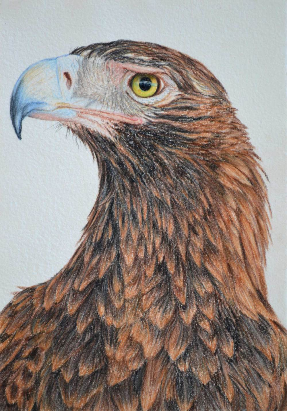 wedge-tailed-eagle-2-drawing-rachel-newling_edited-1.jpg
