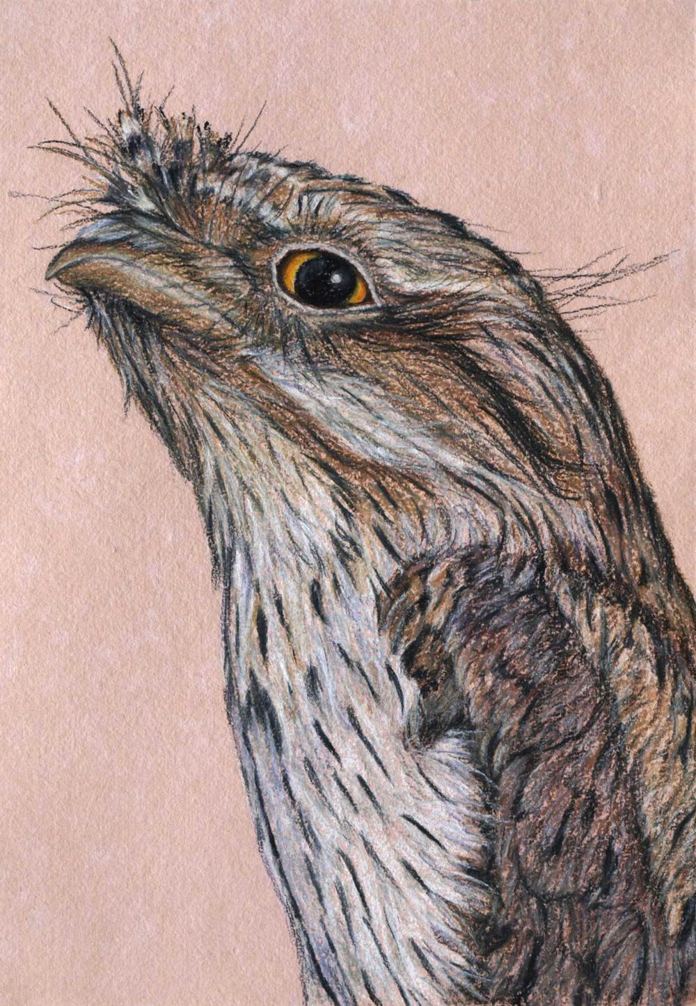 tawny-frogmouth-drawing-rachel-newling.jpg