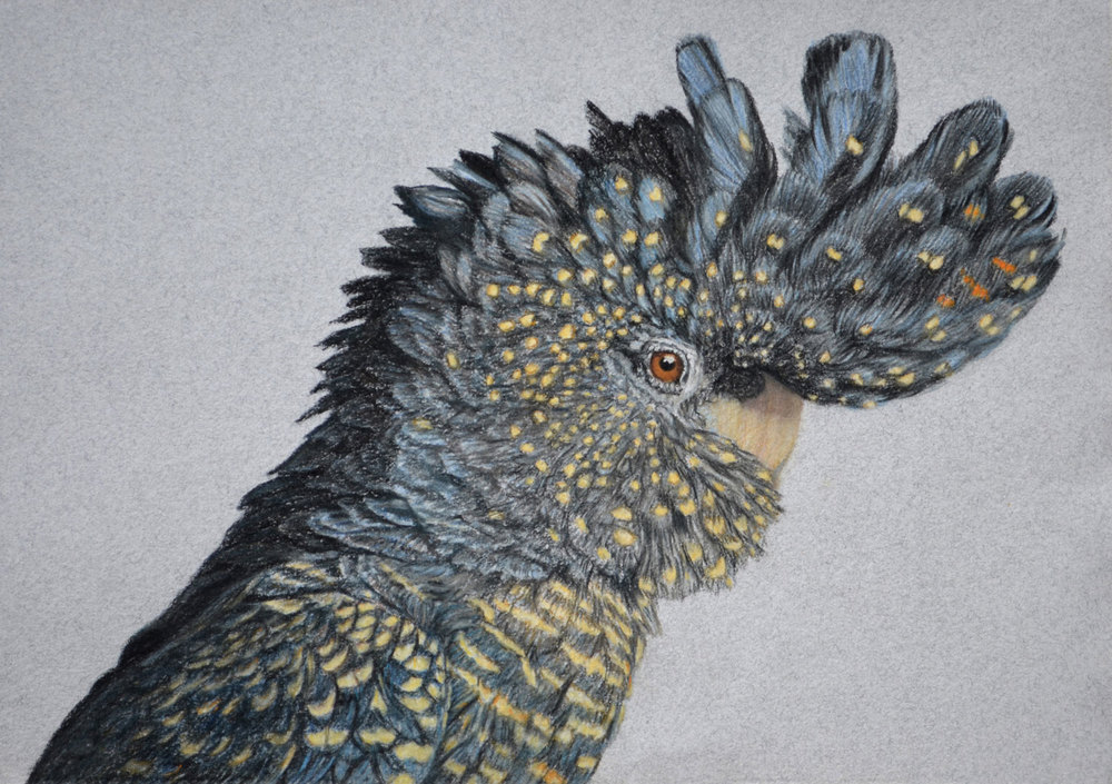 red-tailed-black-cockatoo-drawing-rachel-newling.jpg