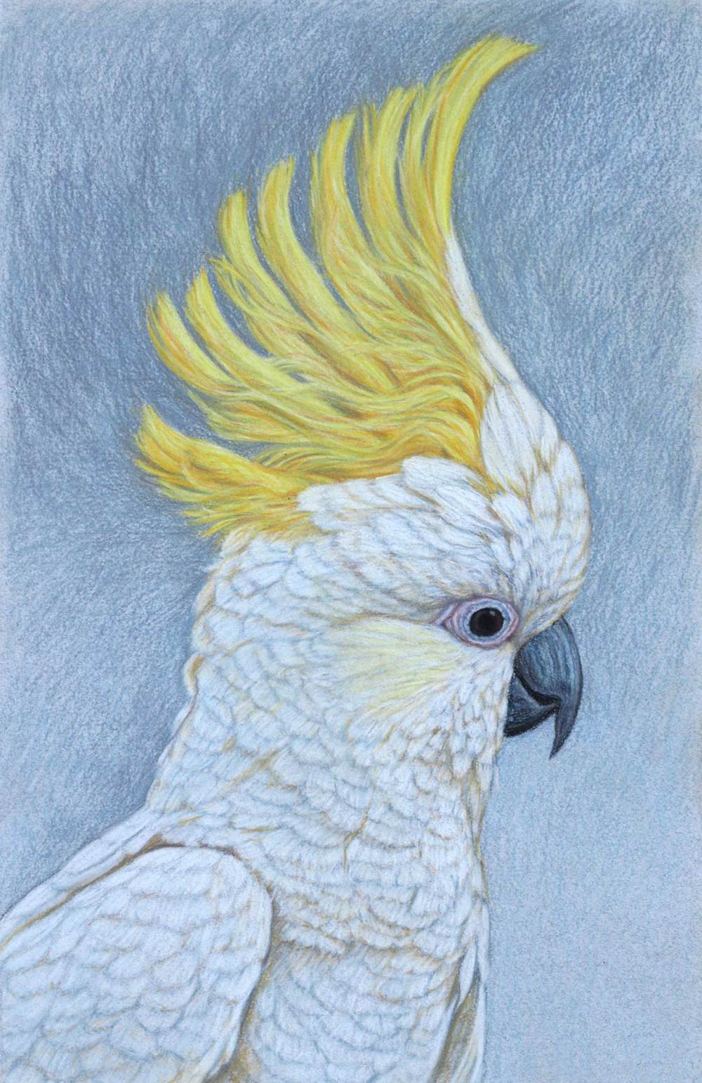 sulphur-crested-cockatoo-3-drawing-rachel-newling.jpg