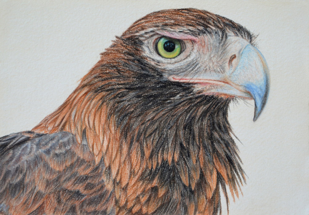 wedge-tailed-eagle-drawing-rachel-newling.jpg