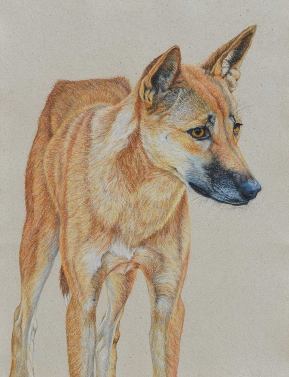 Dingo  61 x 41 CM   Pastel on handmade paper $3,750 framed Available as limited edition of 50, pigment print on watercolour paper 64 x 49 cm $950