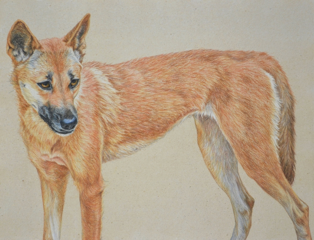 DINGO III 41 x 61 CM   PASTEL ON HANDMADE PAPER $3,750 framed AVAILABLE AS LIMITED EDITION of 50, PIGMENT PRINT ON WATERCOLOUR PAPER 64 X 49 CM $950