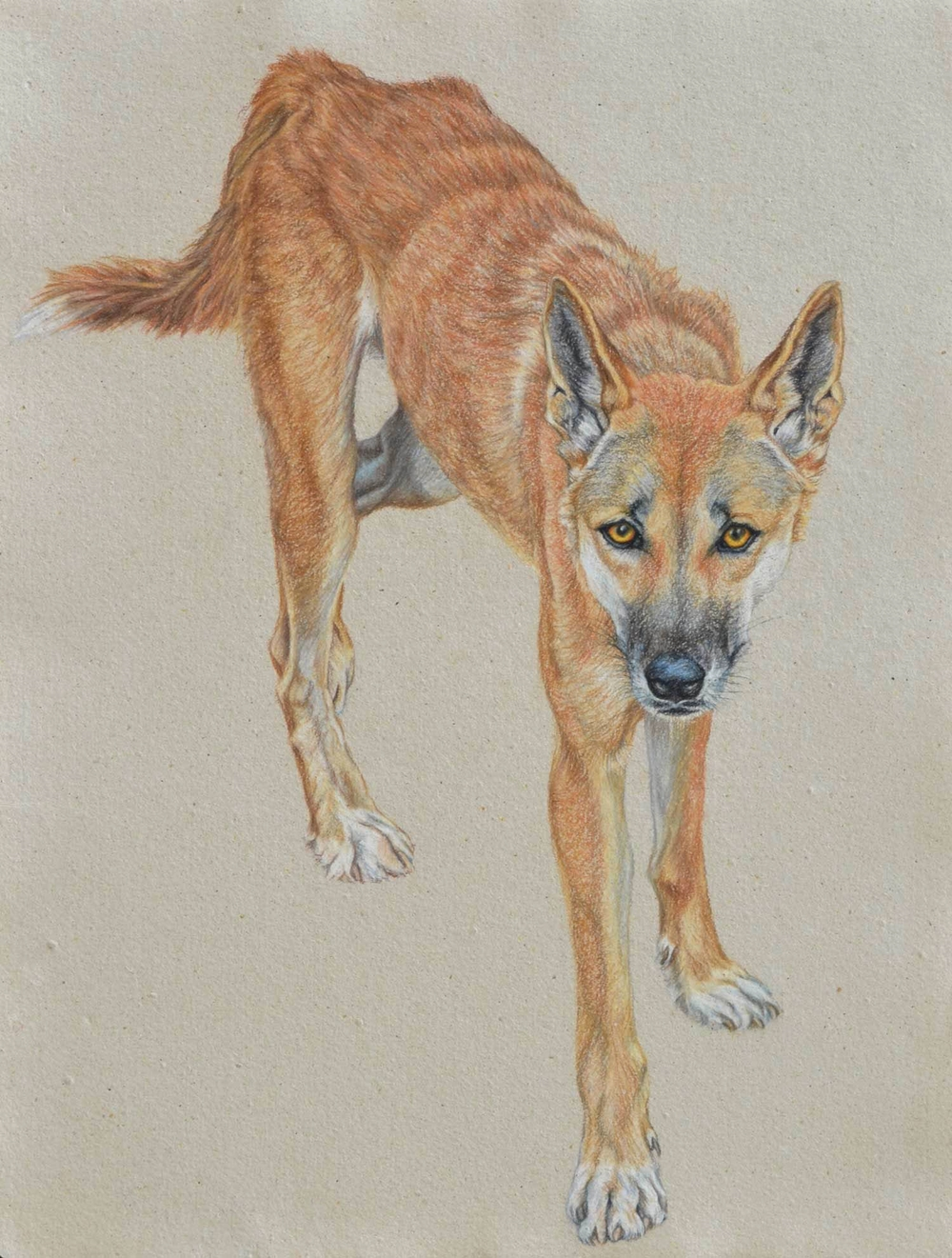 DINGO II 61 X 41 CM   PASTEL ON HANDMADE PAPER $3,750 framed  AVAILABLE AS LIMITED EDITION of 50, PIGMENT PRINT ON WATERCOLOUR PAPER 64 X 49 CM $950