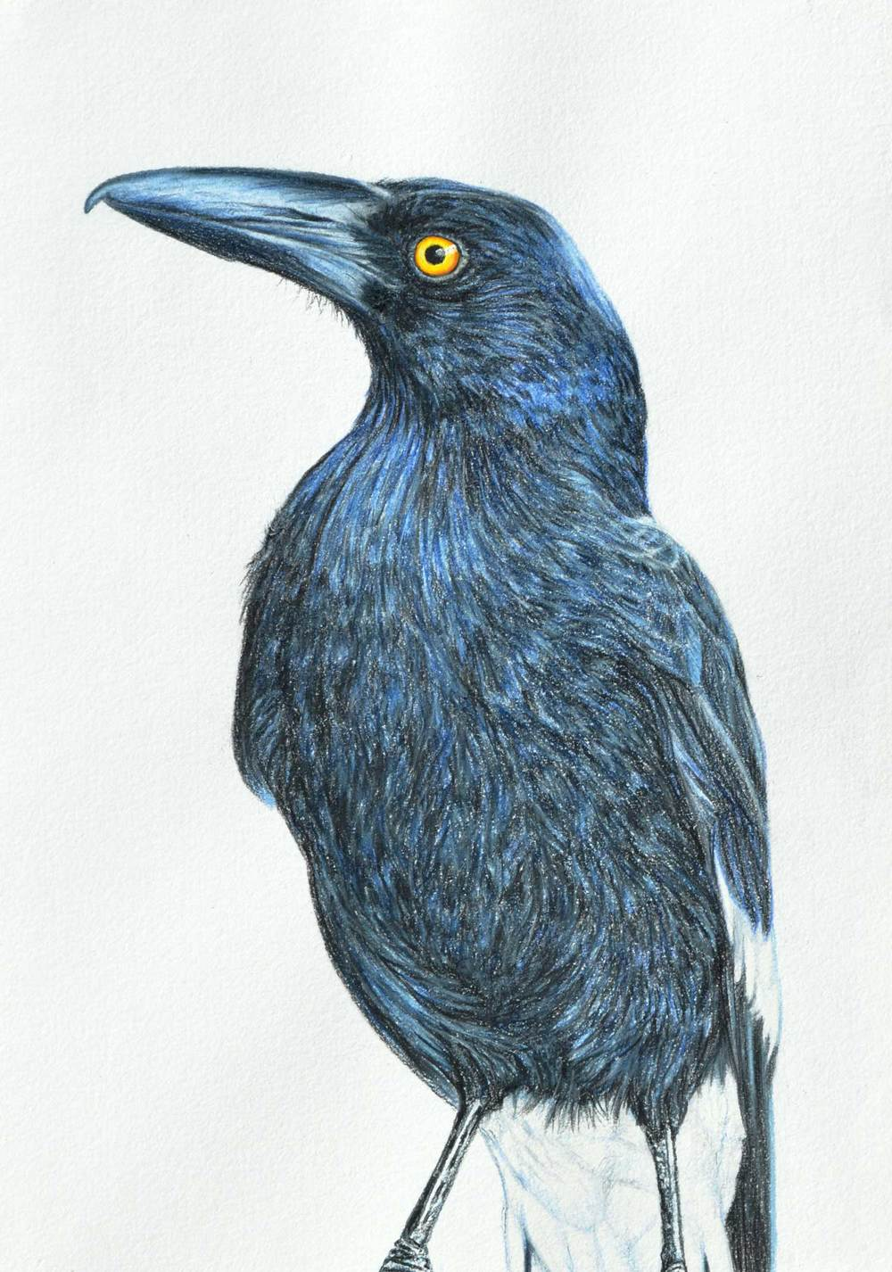 Currawong 41 x 31 CM   PASTEL ON HANDMADE PAPER $1,500 framed Available as a Limited edition of 50, pigment print on watercolour paper $500
