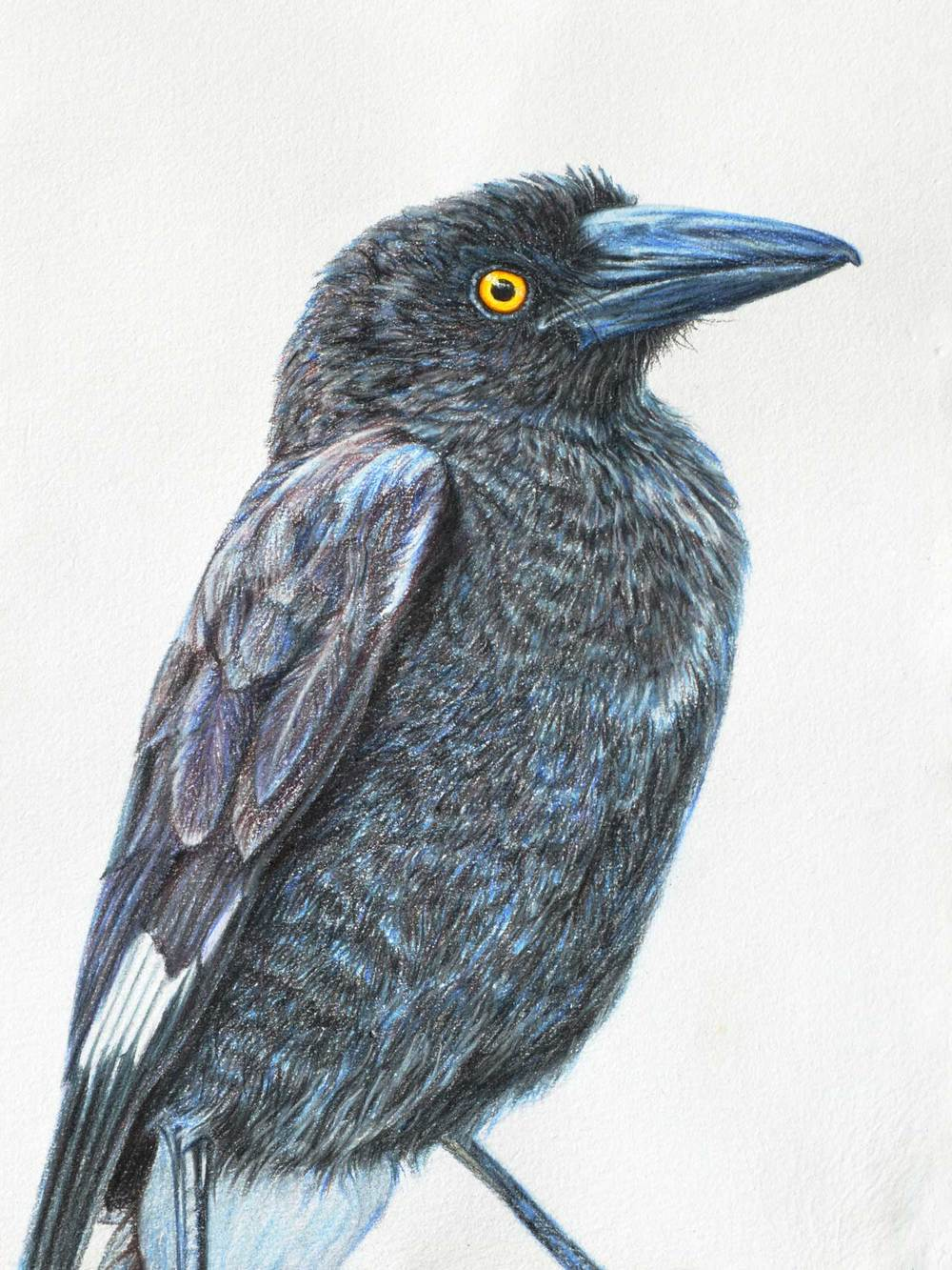 Young Currawong 41 x 31 CM   PASTEL ON HANDMADE PAPER $1,500 framed SOLD AVAILABLE AS A LIMITED EDITION OF 50 PIGMENT PRINT ON WATERCOLOUR PAPER $500