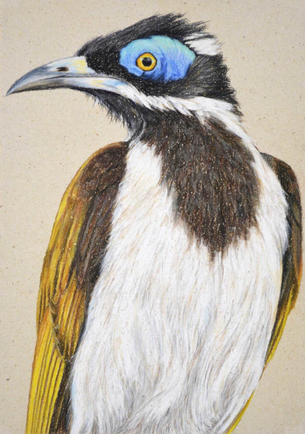 Blue Faced Honeyeater   30 x 21 Pastel on handmade paper                                     $800