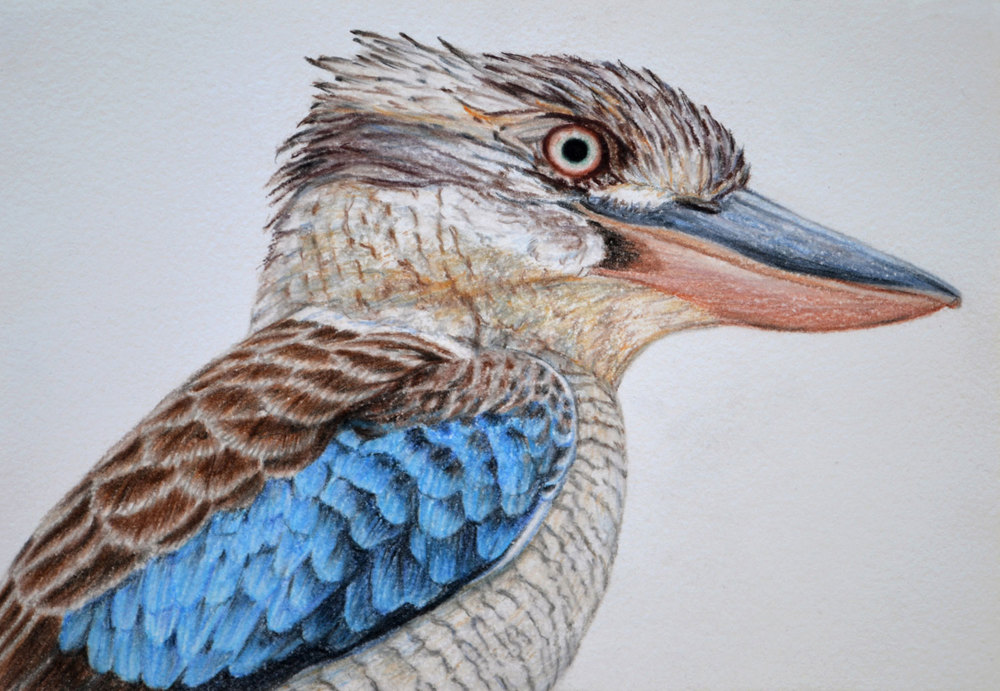 Blue Winged Kookburra III        21 x 30 cm                                 PASTEL ON HANDMADE PAPER                                                     $800