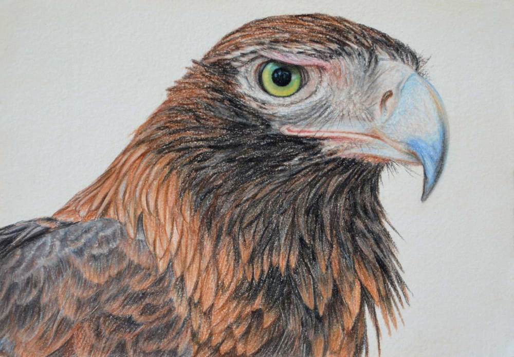 Wedge Tailed Eagle     21 x 30 cm                                             Pastel on handmade paper                                                        $800