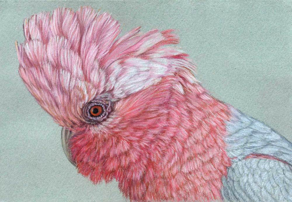 Galah     21 x 30 cm                                                                   Pastel on handmade paper                                                            Sold