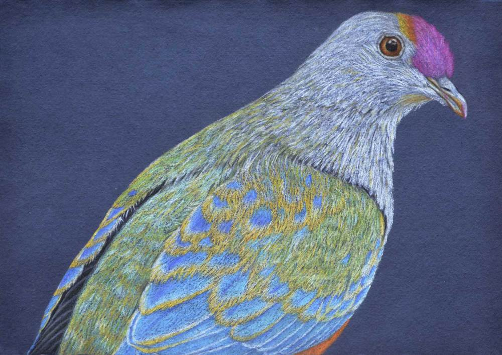 Rose Crowned Fruit Dove    30 x 21 cm                               PASTEL ON HANDMADE PAPER                                                           $800