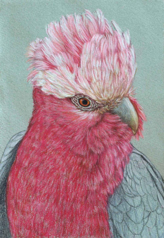 galah III  30 x 21 cm Pastel on handmade paper sold
