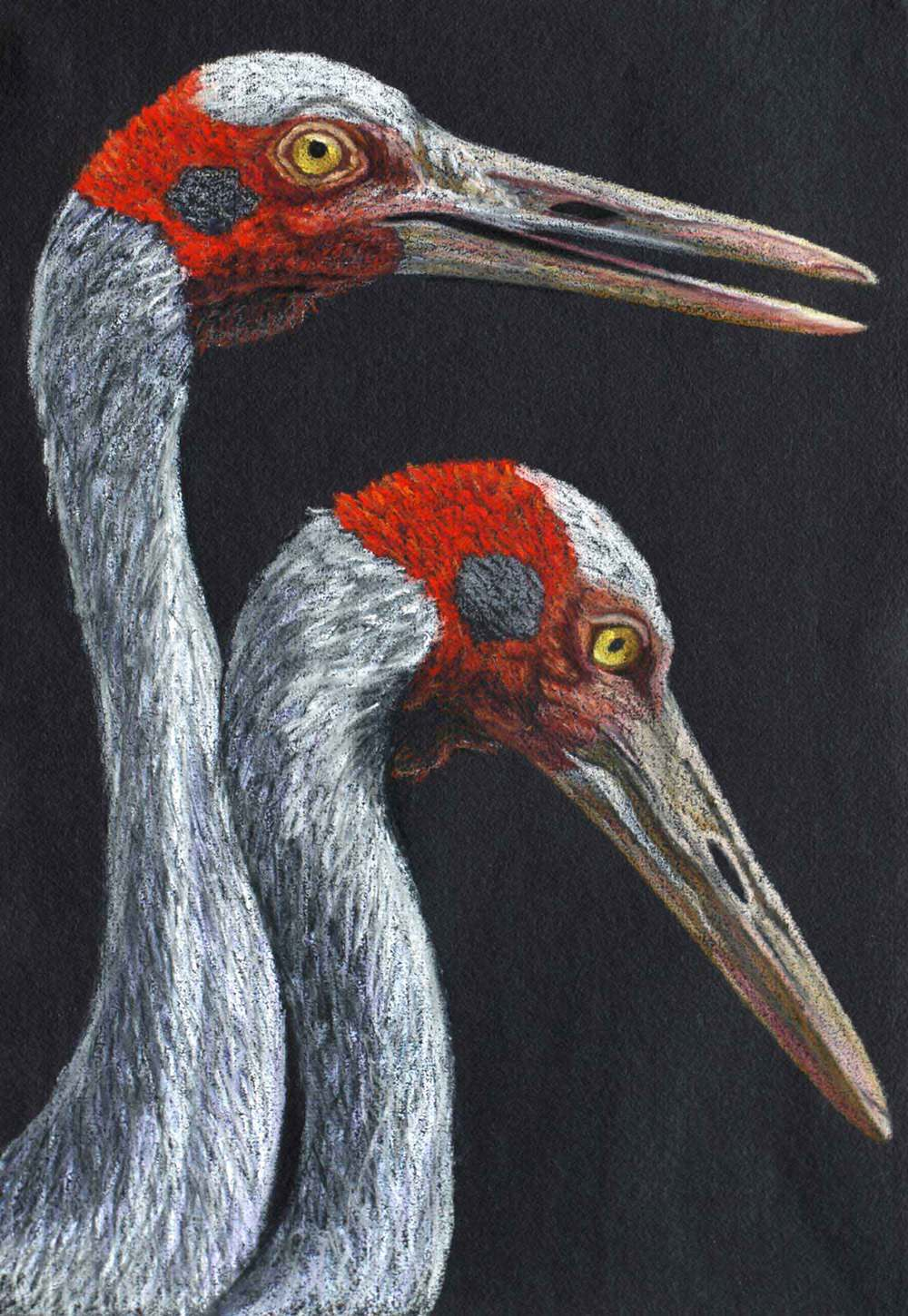brolga    30 x 21 cm Pastel on handmade paper sold