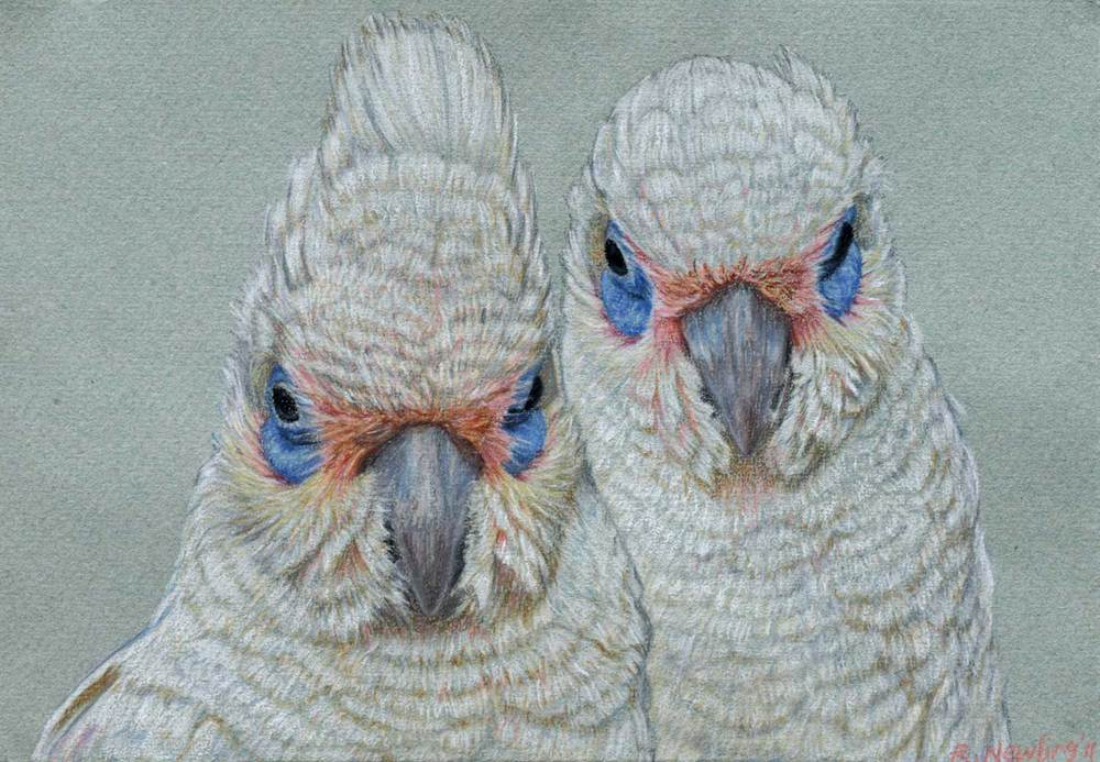 corella pair    21 x 30 cm  Pastel on handmade paper  sold