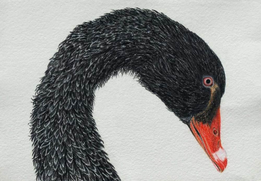 balck swan II  21 x 30 cm Pastel on handmade paper sold
