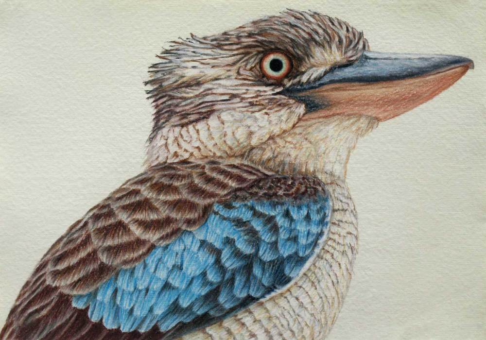 Blue Winged Kookaburra 21 x 30 cm  Pastel on handmade paper  SOLD