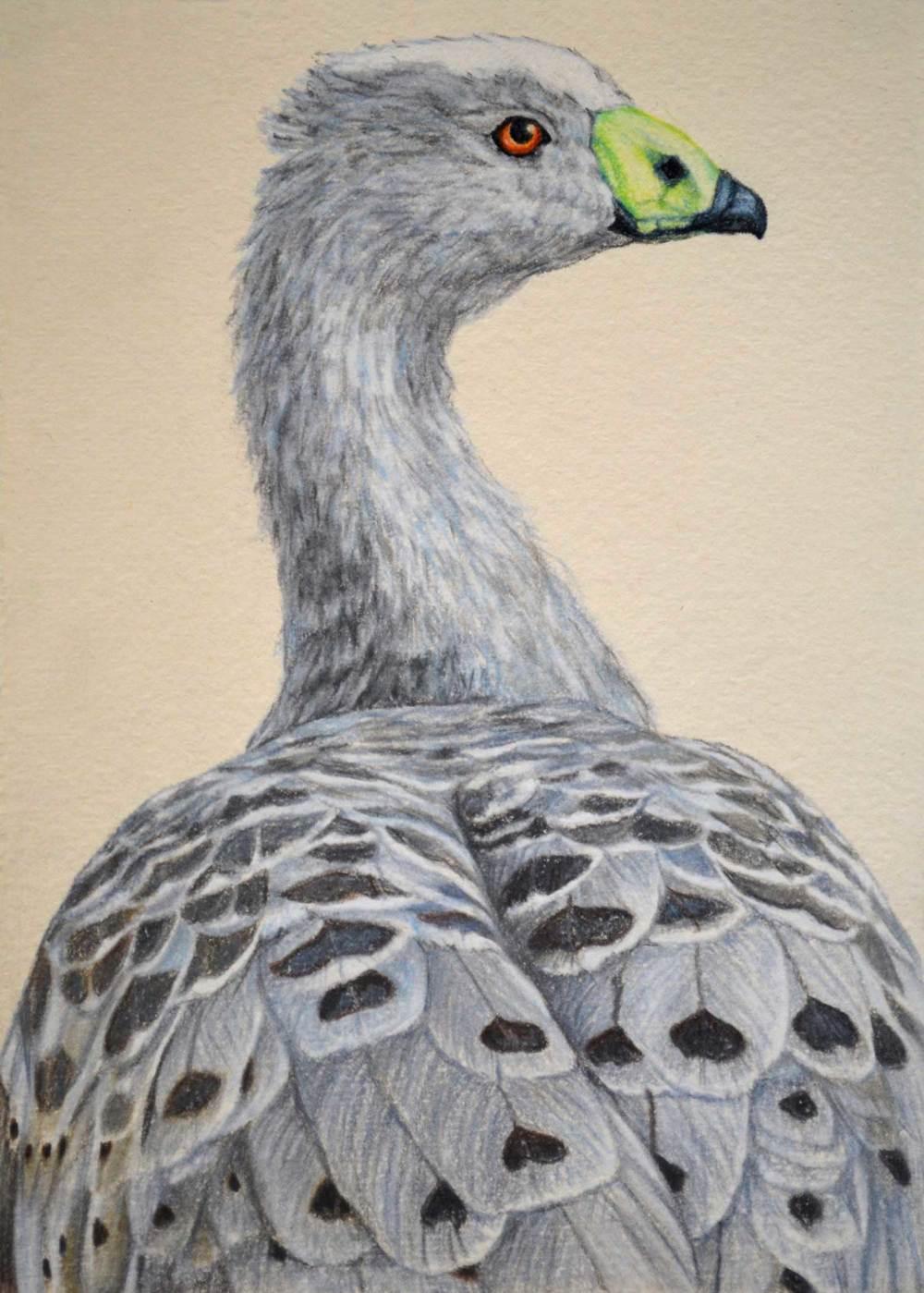 Cape Barren Goose II  30 x 21 cm  Pastel on handmade paper  SOLD