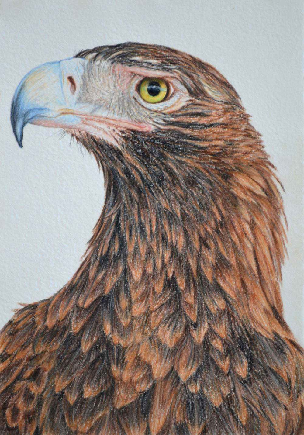 Wedge Tailed Eagle II    30 x 21 cm                           Pastel on handmade paper                                   $800