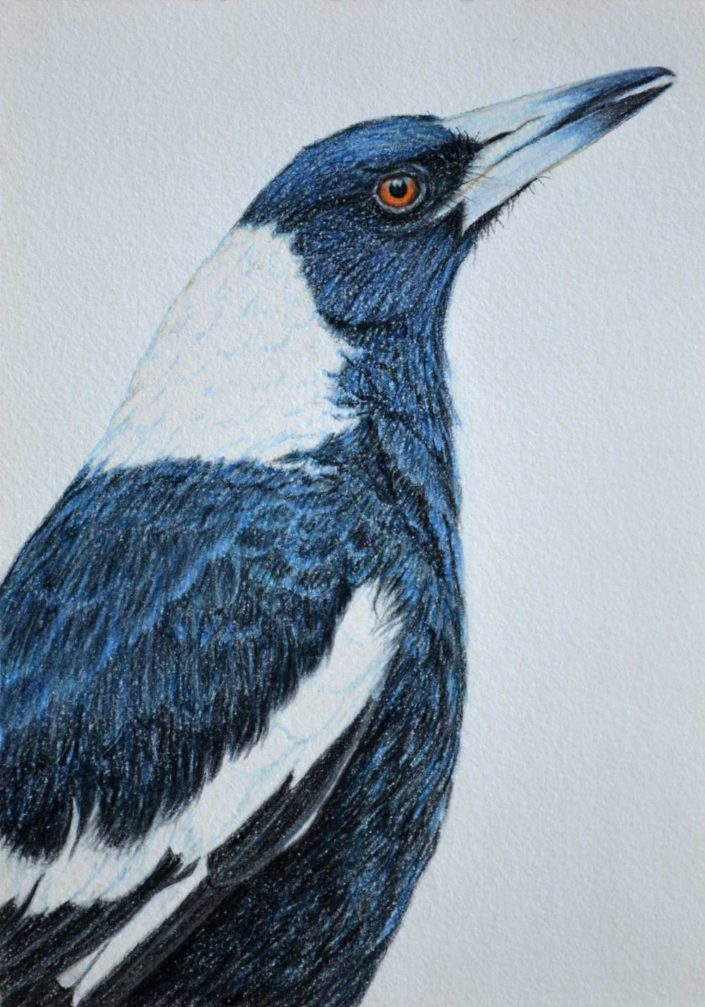 Australian Magpie    30 x 21 cm Pastel on handmade paper SOLD