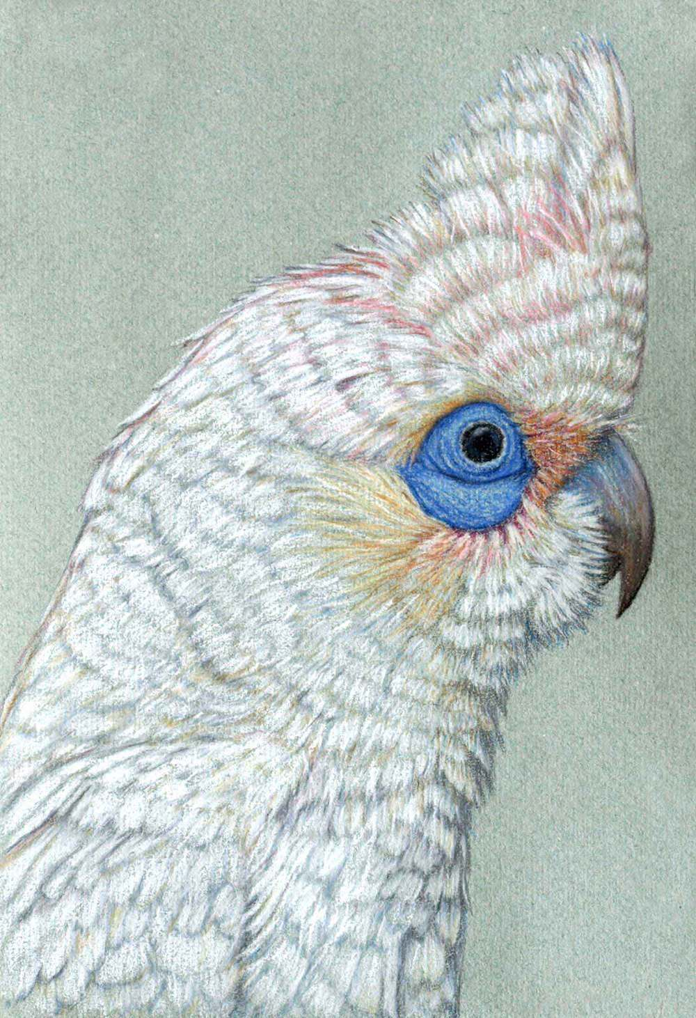 Corella 30 x 21 cm  Pastel on handmade paper  SOLD