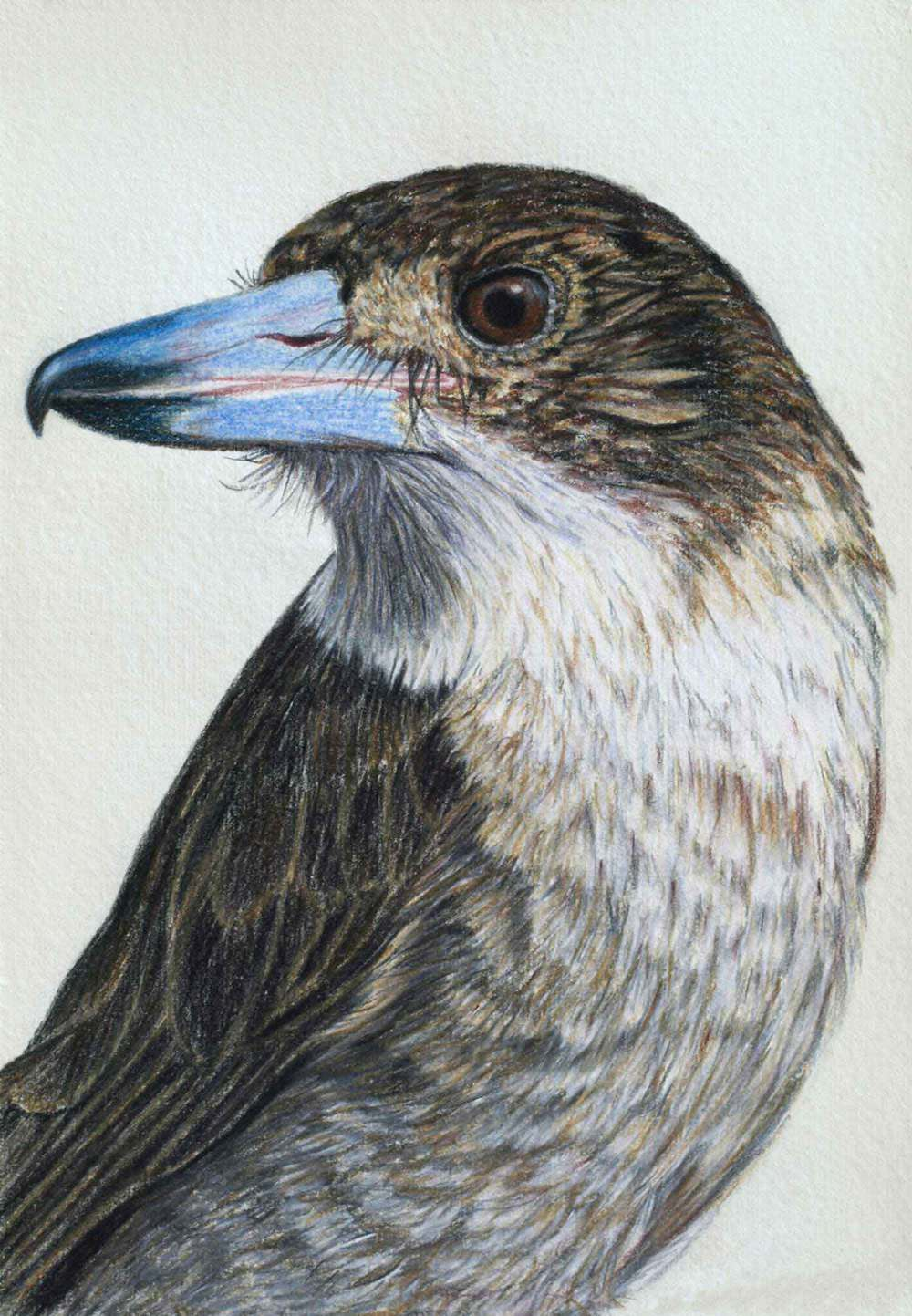 Butcher Bird 30 x 21 cm  Pastel on handmade paper  SOLD