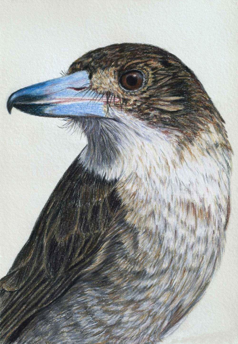 Butcher Bird  30 x 21 cm                   Pastel on handmade paper                    SOLD