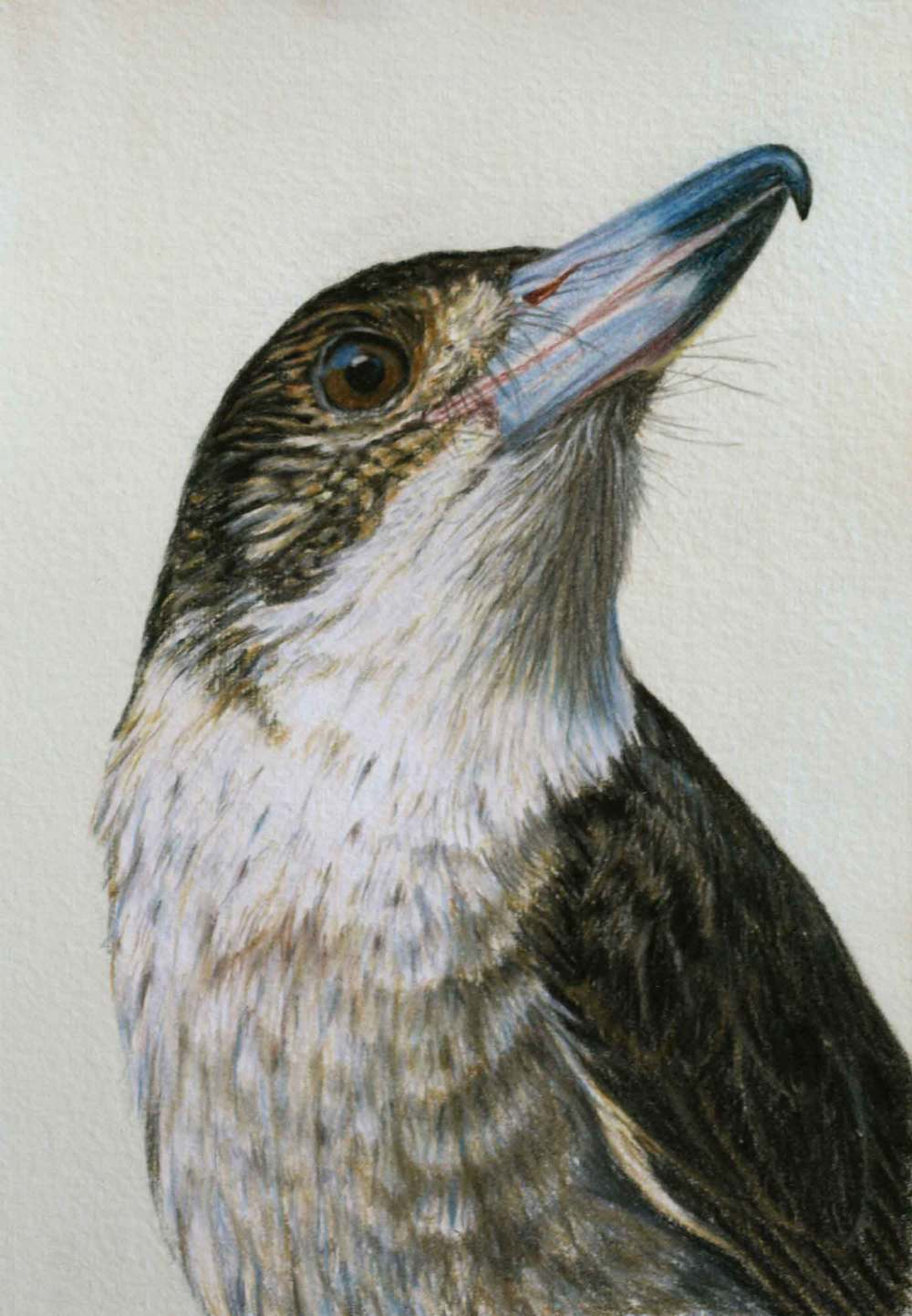 Butcher Bird II 30 x 21 cm  Pastel on handmade paper  SOLD