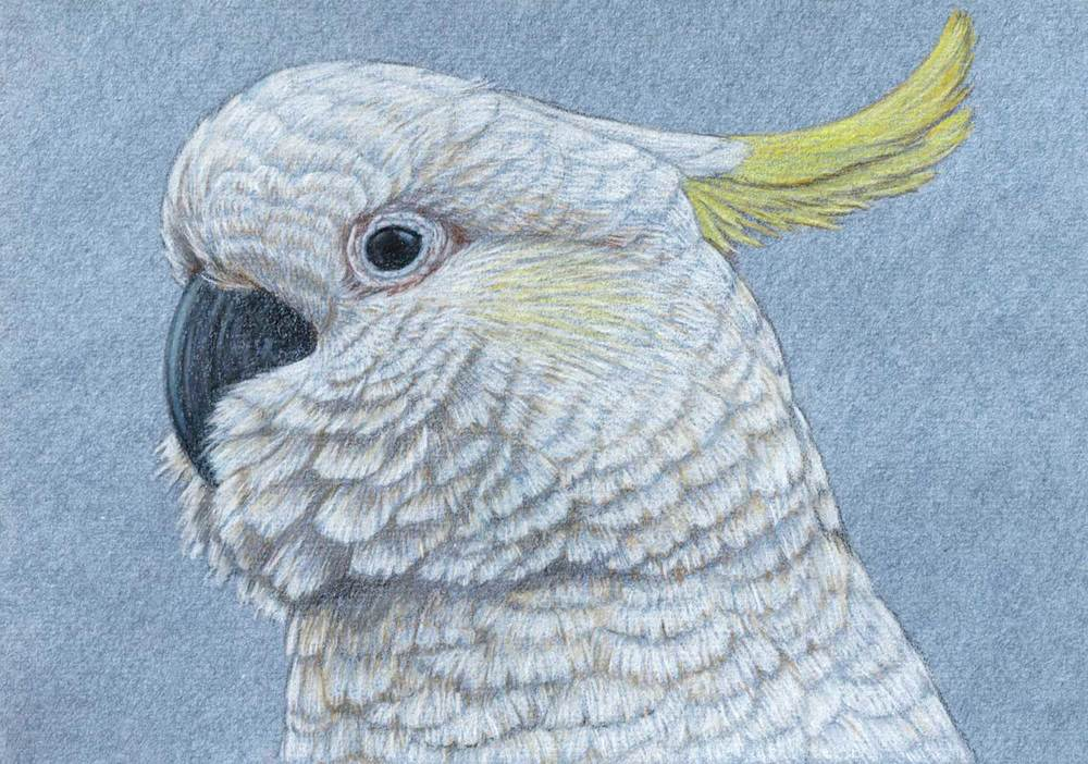 Sulphur Crested Cockatoo    21 x 30 cm  Pastel on handmade paper  SOLD