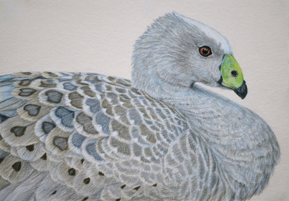 Cape Barren Goose  21 x 30 cm Pastel on handmade paper SOLD