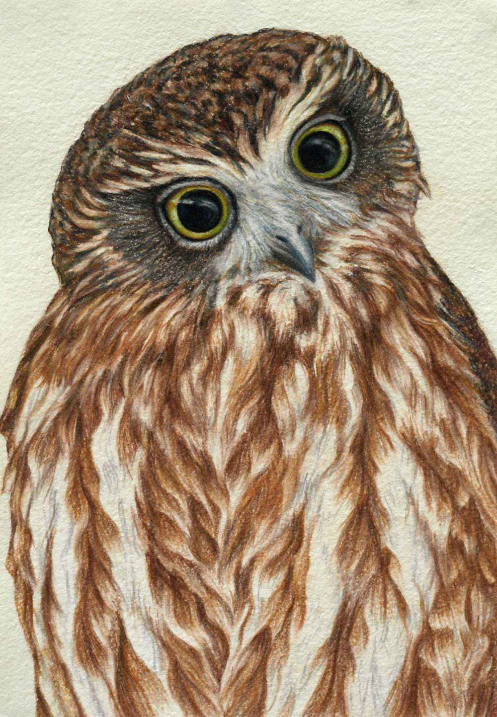 Boobook Owl    30 x 21 cm  Pastel on handmade paper  SOLD