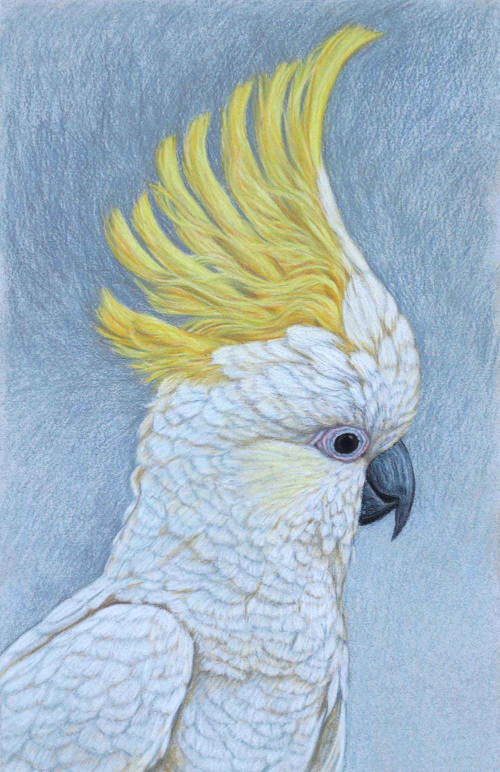 Sulphur Crested Cockatoo III     41.5 x 27 cm Pastel on handmade paper SOLD