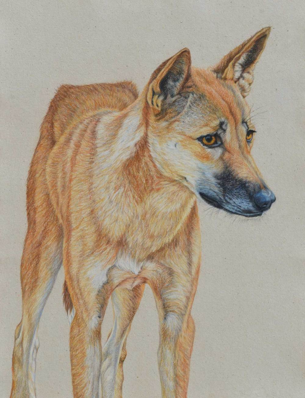 dingo-drawing-rachel-newling.jpg