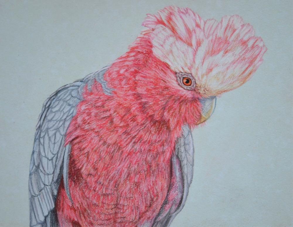 Galah V   Pastel on handmade paper  $1,300