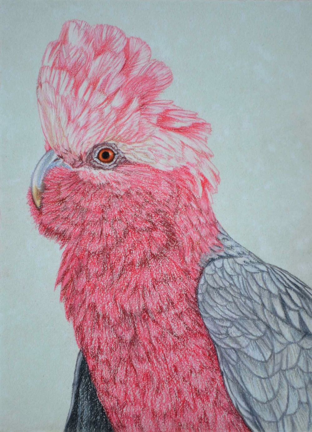 Galah IV  Pastel on handmade paper  sold