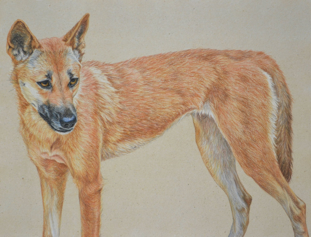 dingo-3-drawing-rachel-newling.jpg