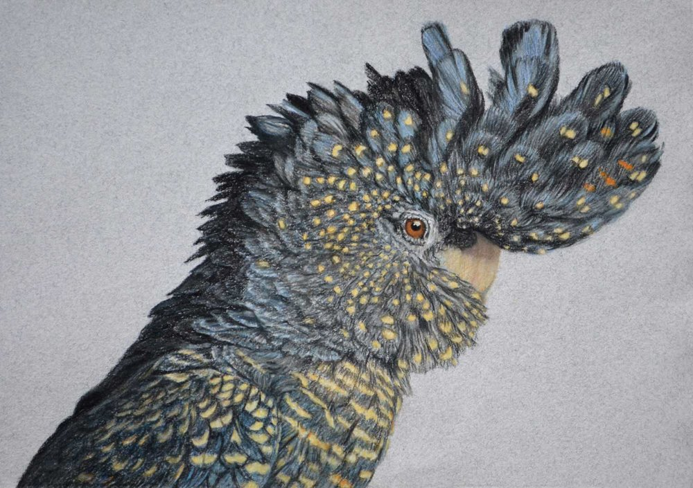 Red taile black cockatoo  26 x 37 cm, Pastel Drawing ON HANDMADE PAPER  Available as a limited edition print  $650