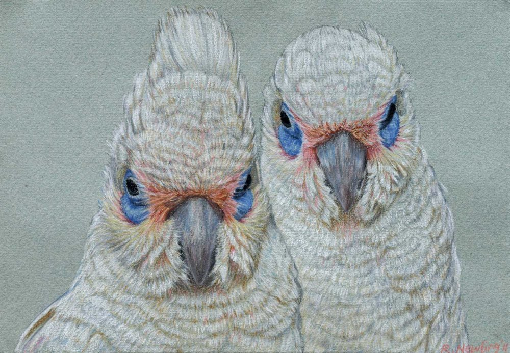 corella pair  26 x 37 cm, Pastel Drawing on handmade paper   Available as a limited edition print  $650